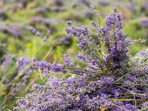 weleda-lavendel