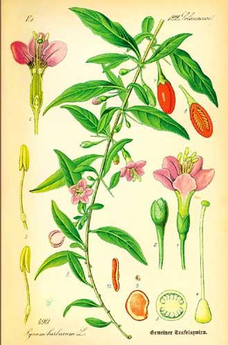 morgenland-bio-gojibeere